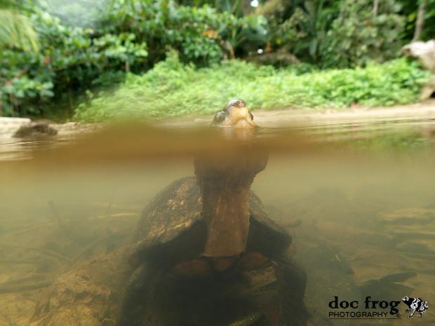 Tortuga Escorpión / Kinosternon scorpioides